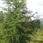 Waldbaum